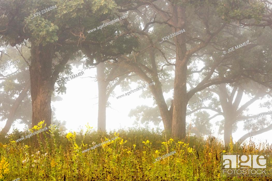 Photo de stock: Oak savanna with wild flowers on a foggy late summer morning.
