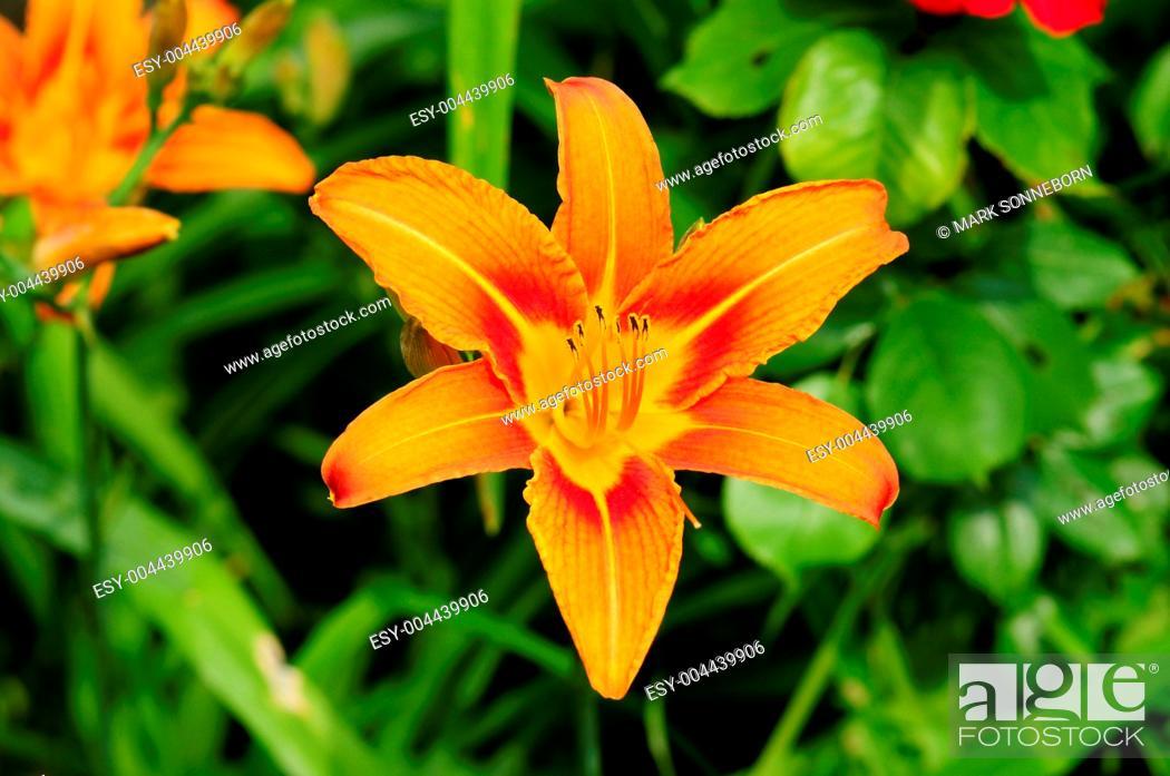 Stock Photo: Taglilie.