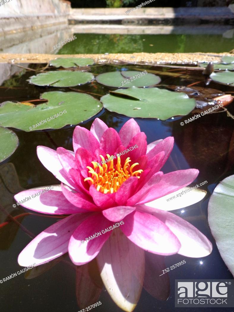 Stock Photo: Water lily (Nymphaea tetragona). Catalonia, Spain.