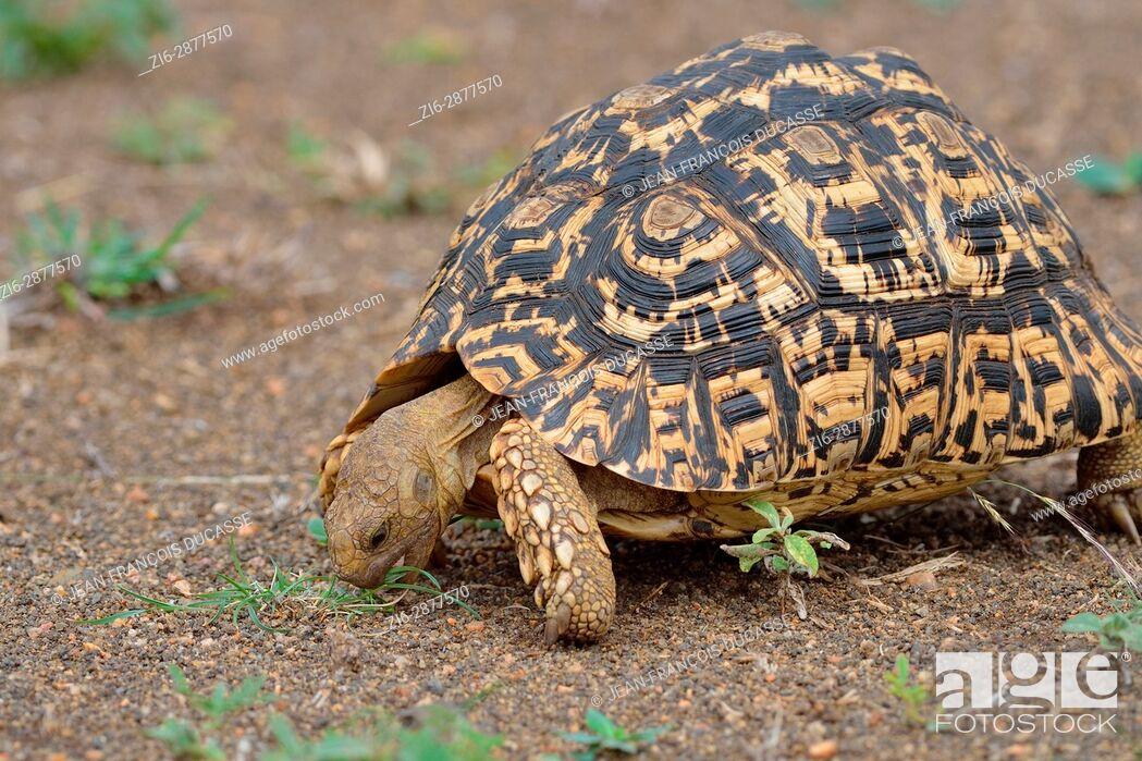 Stock Photo: Leopard tortoise (Stigmochelys pardalis), feeding on grass, Kruger National Park, South Africa, Africa.