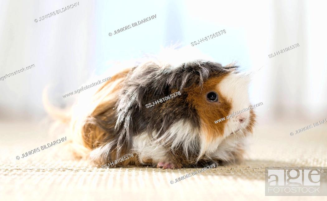 Stock Photo: Long-haired (Lunkarya) Guinea Pig, Cavie. Adult on a carpet. Germany.
