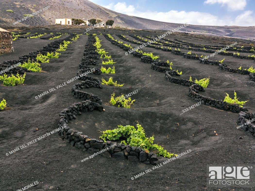 Stock Photo: Vineyards in La Geria. Lanzarote. Canary Islands. Spain. Europe.
