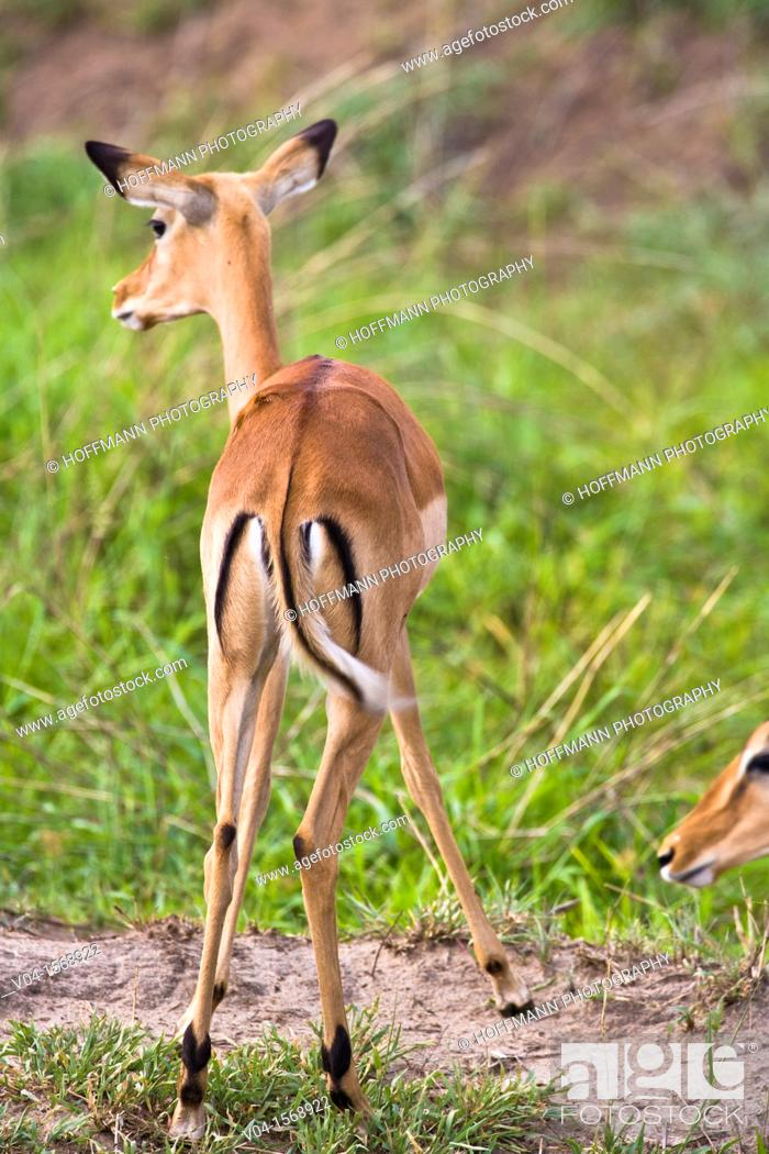 Imagen: An alerted impala (Aepyceros melampus) from the back, Tarangire National Park, Tanzania, Africa.