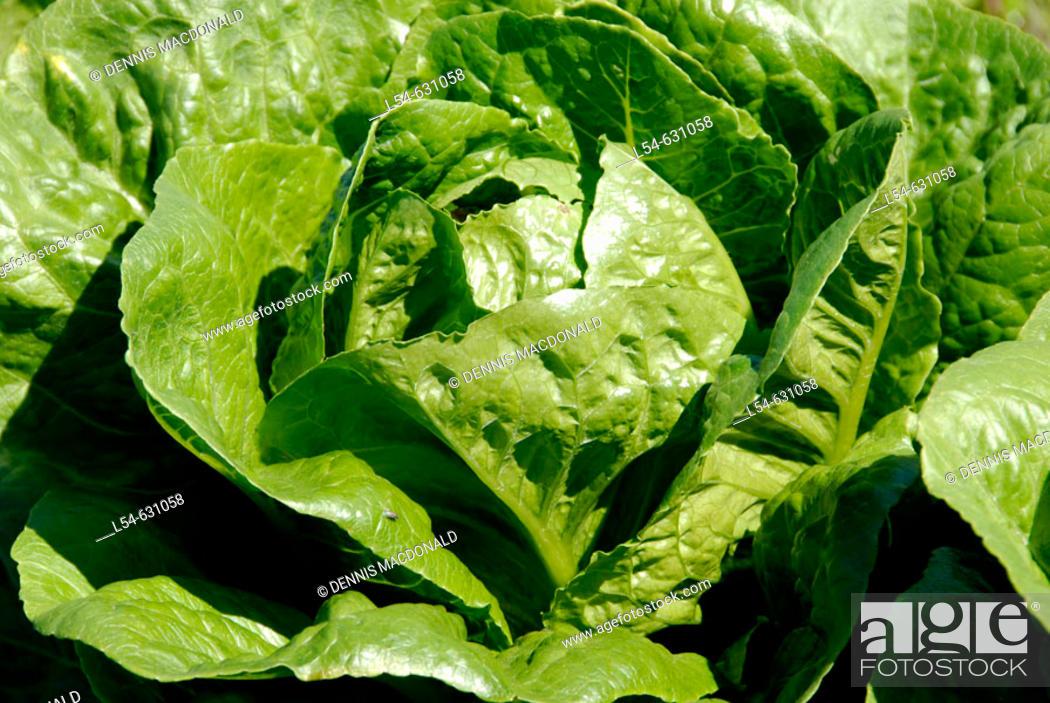 Bibb Lettuce Fresh Vegetable Produce and Fruit Truck Farming
