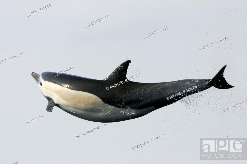 Stock Photo: Short-beaked common dolphin Delphinus delphis leaping totally airborn! off the north shore of Catalina Island, Southern California, USA  Pacific Ocean.