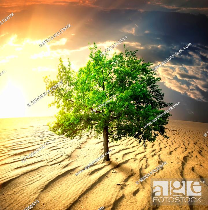 Stock Photo: Green tree in the desert at sunset.