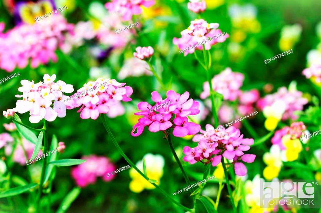 Stock Photo: Blossoming colorful Iberis amara flowers. Also called rocket candytuft, bitter candytuft or wild candytuft.