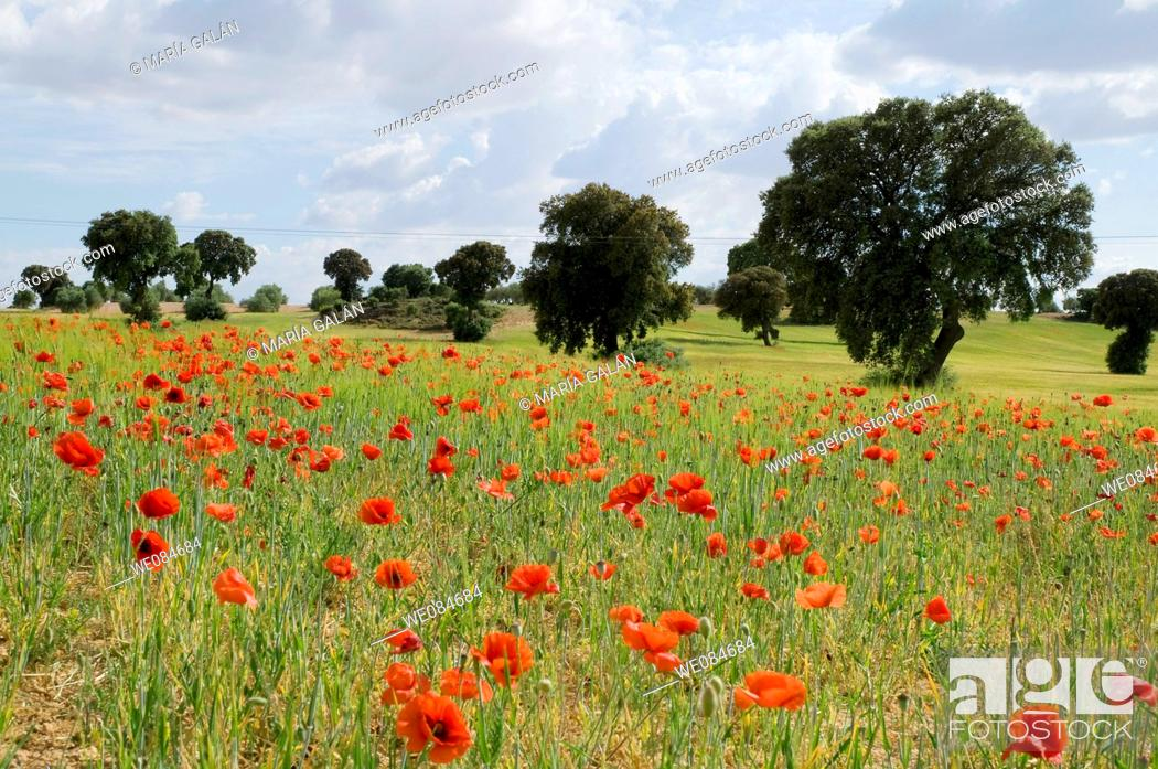 Stock Photo: Poppy field and holm oaks. Cuenca province, Castilla La Mancha, Spain.