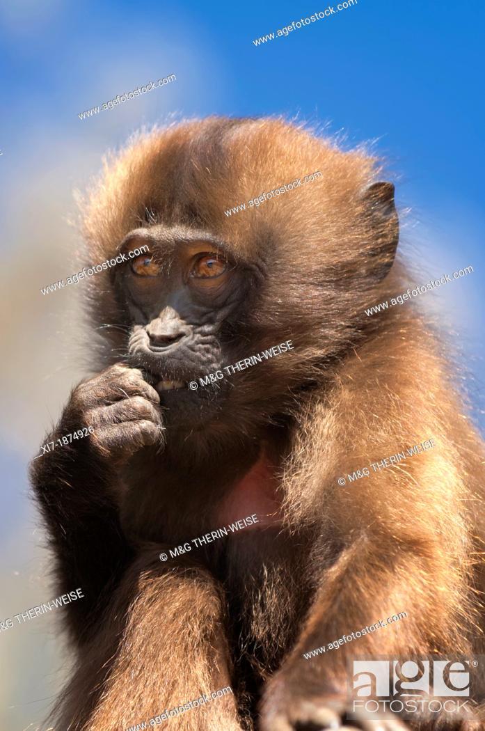 Stock Photo: Baby Gelada baboon Theropithecus Gelada, Simien mountains national park, Amhara region, North Ethiopia.