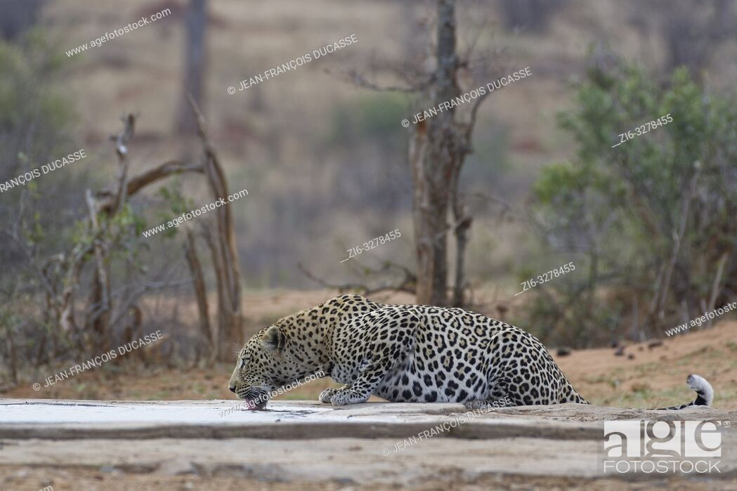 Stock Photo: African leopard (Panthera pardus pardus), adult male, drinking at a waterhole at dusk, Kruger National Park, South Africa, Africa.