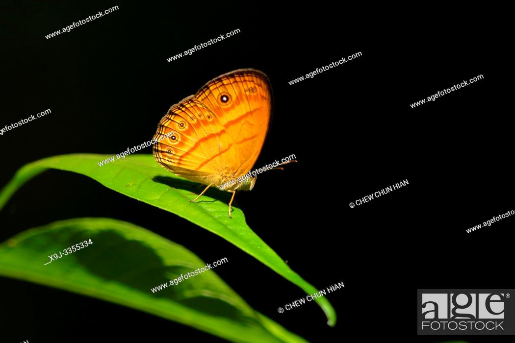 Stock Photo: Butterfly, Mycalesis patiana, Borneo, Asia.
