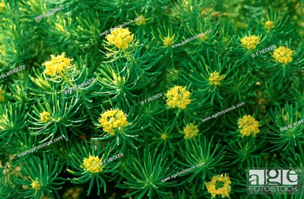 Stock Photo: cypress spurge Euphorbia cyparissias, blooming.
