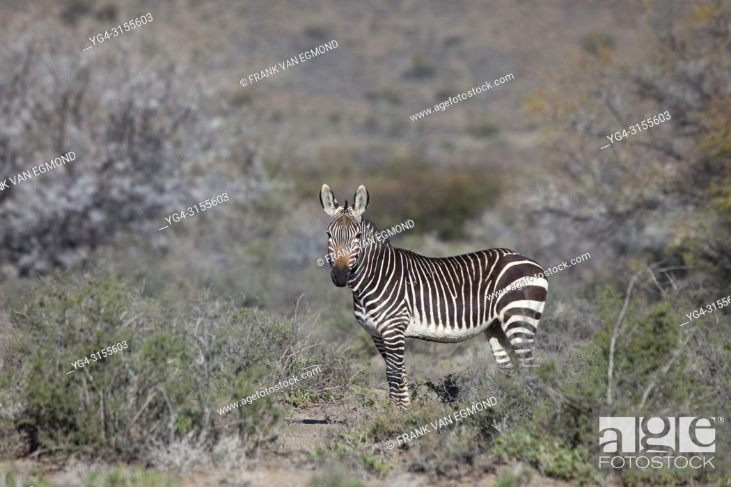 Stock Photo: Cape Mountain Zebra, Karoo National Park, South Africa.