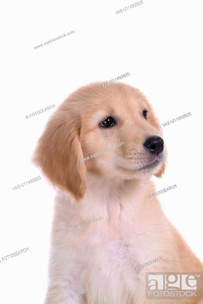Stock Photo: canine, domestic animal, closeup, close up, looking away, companion, golden retriever.