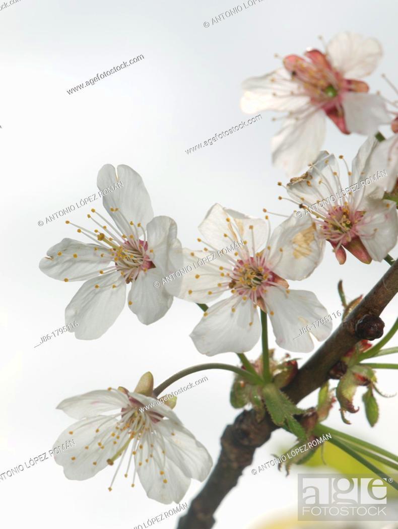 Stock Photo: Cherry blossoms Prunus avium.