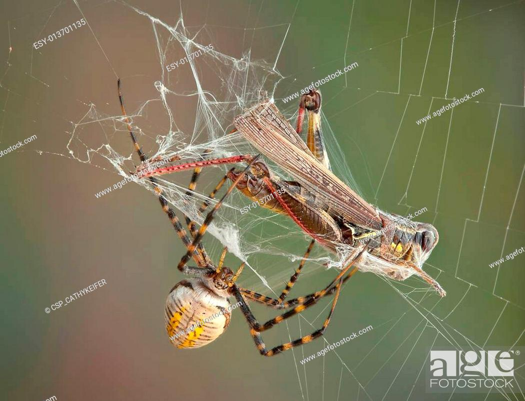 Stock Photo: Argiope spider wrapping hopper.