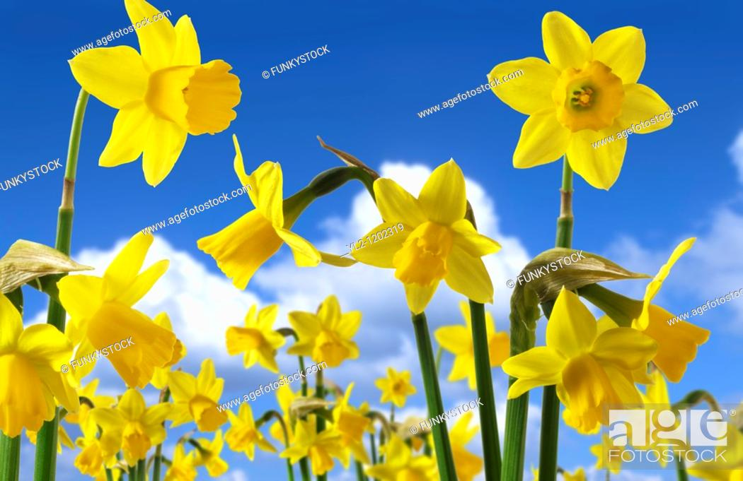 Stock Photo: Daffodil flowers.