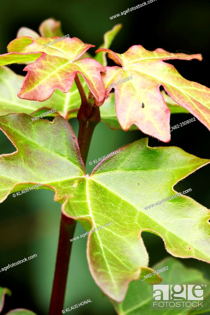Stock Photo: Leaves of Field Maple Acer campestre - Central Franconia, Bavaria/Germany.