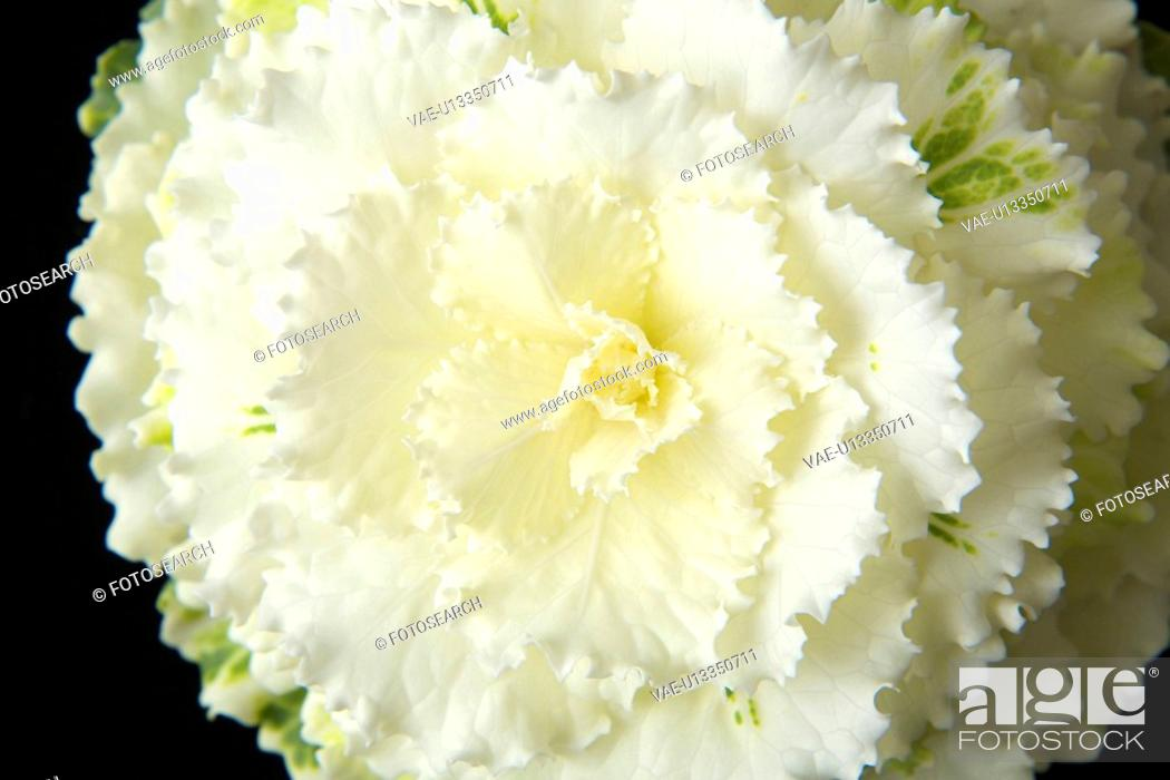 Stock Photo: Ornamental cabbage.