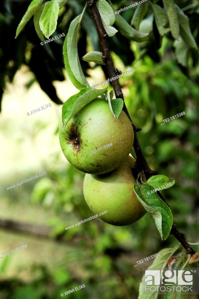 Stock Photo: detail of green apple tree with ripe fruit Malaus communis and leaves.