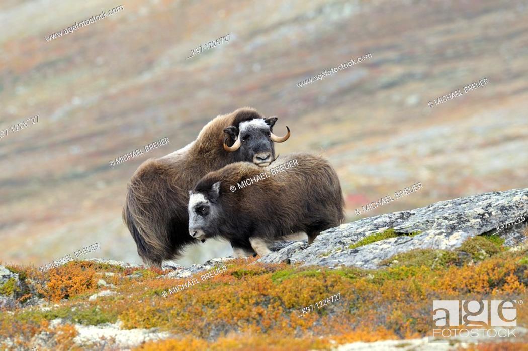Stock Photo: Muskoxen (Ovibos moschatus), Cow and calf, Autumn, Fall, Dovrefjell National Park, Norway, Europe.