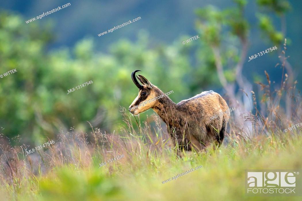 Stock Photo: Chamois, (Rupicapra rupicapra), wildlife, Vosges, France.