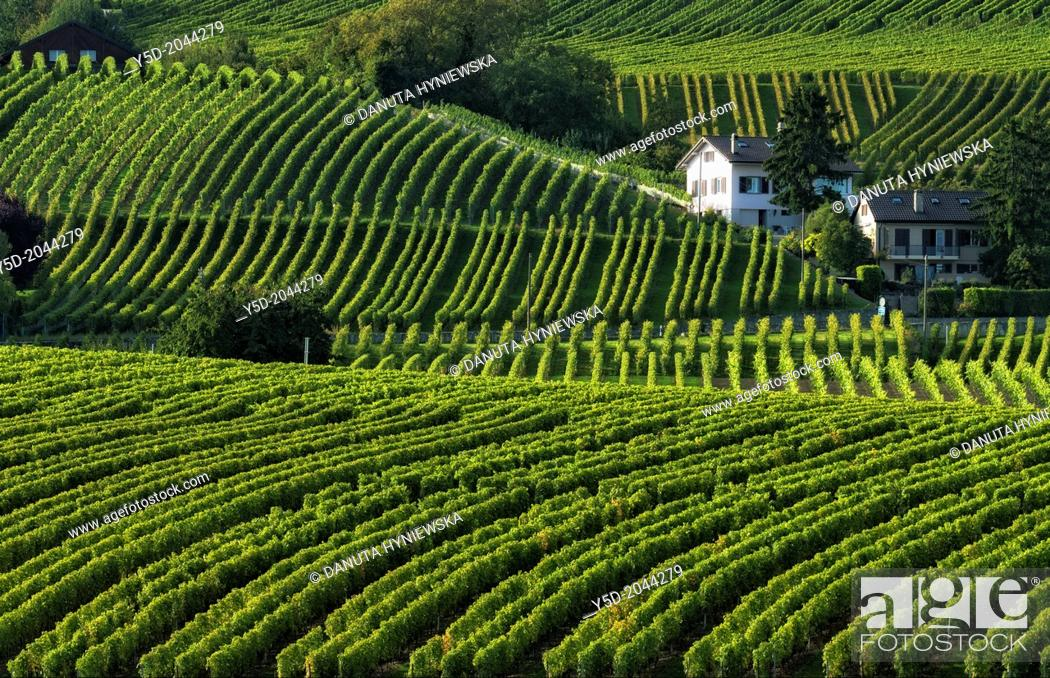 Stock Photo: Europe, Switzerland, Canton Vaud, La Côte, Morges district, Aubonne, living in heart of vineyards, Autumn time.