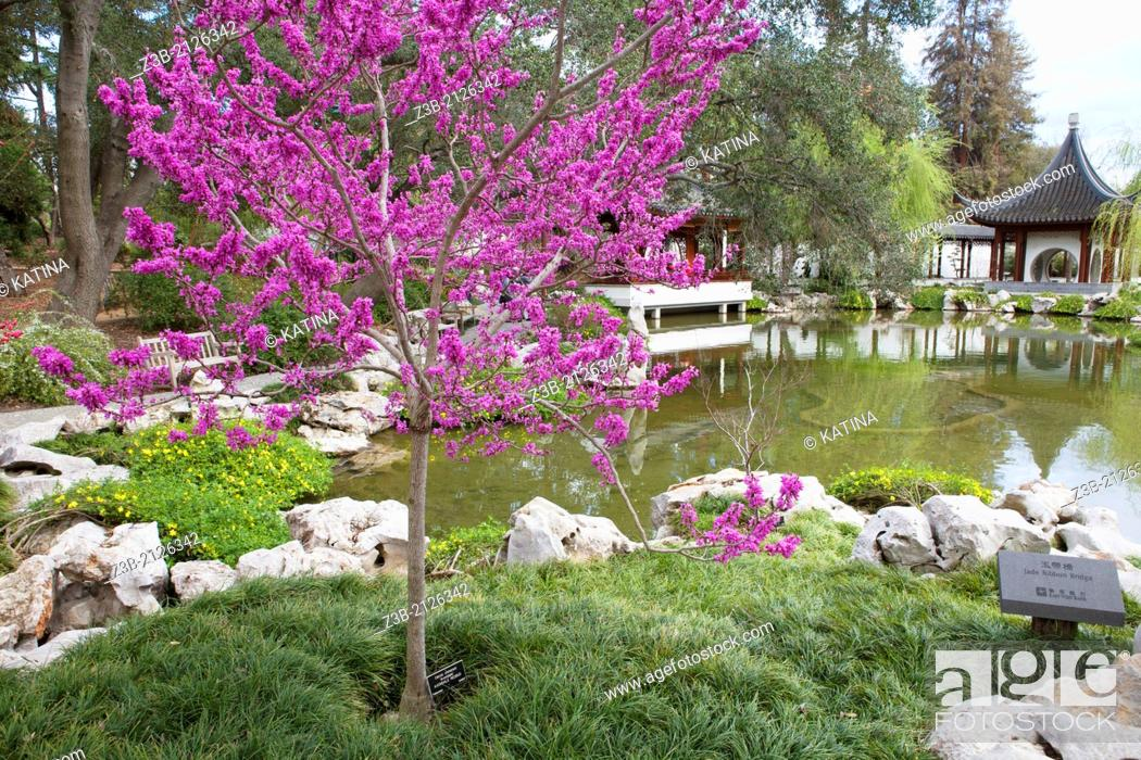 Stock Photo: An avondale redbud in bloom in Spring at the Chinese Gardens of Huntington Gardens and Library, San Marino, California, USA.