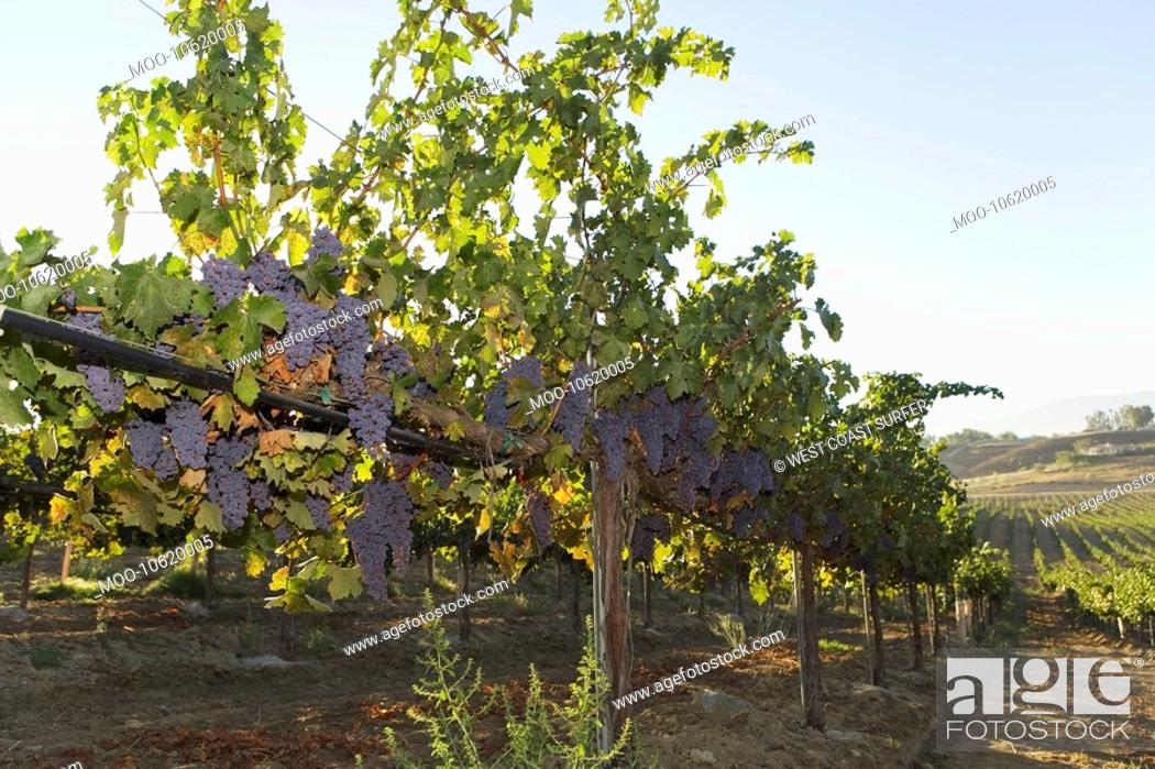 Stock Photo: Grapevines in row in valley.