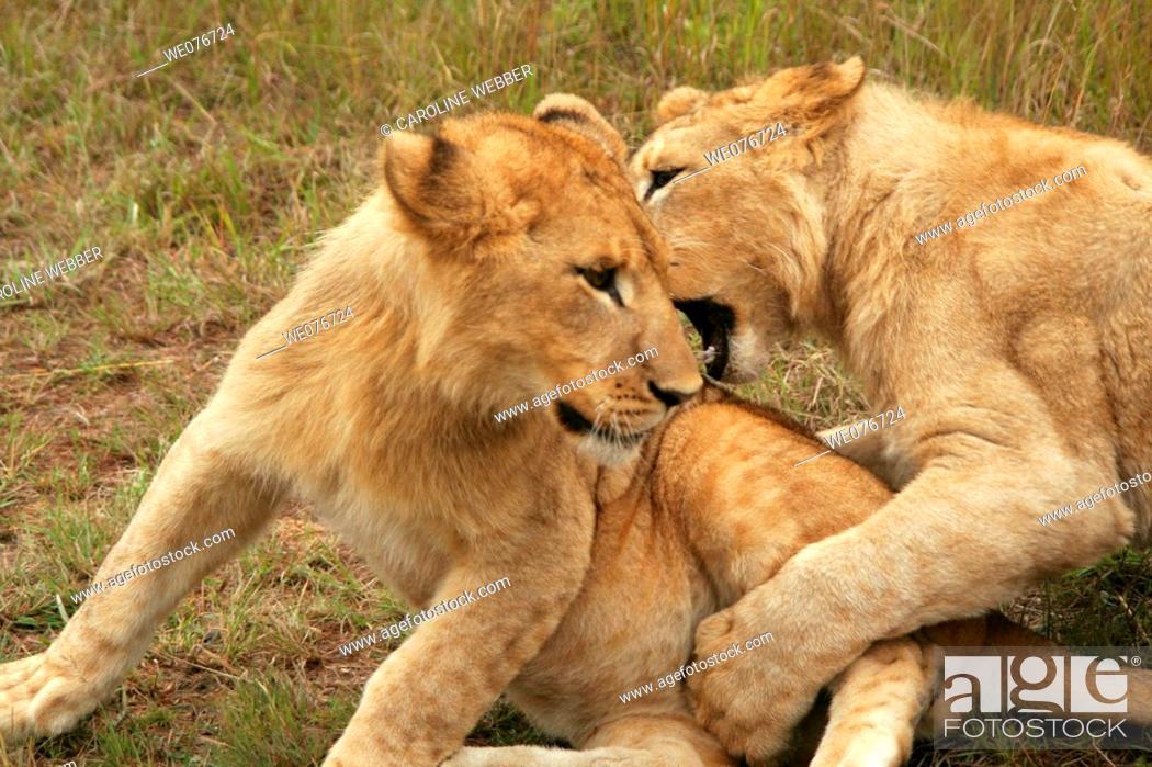Stock Photo: Lions wrestling in Zimbabwe.