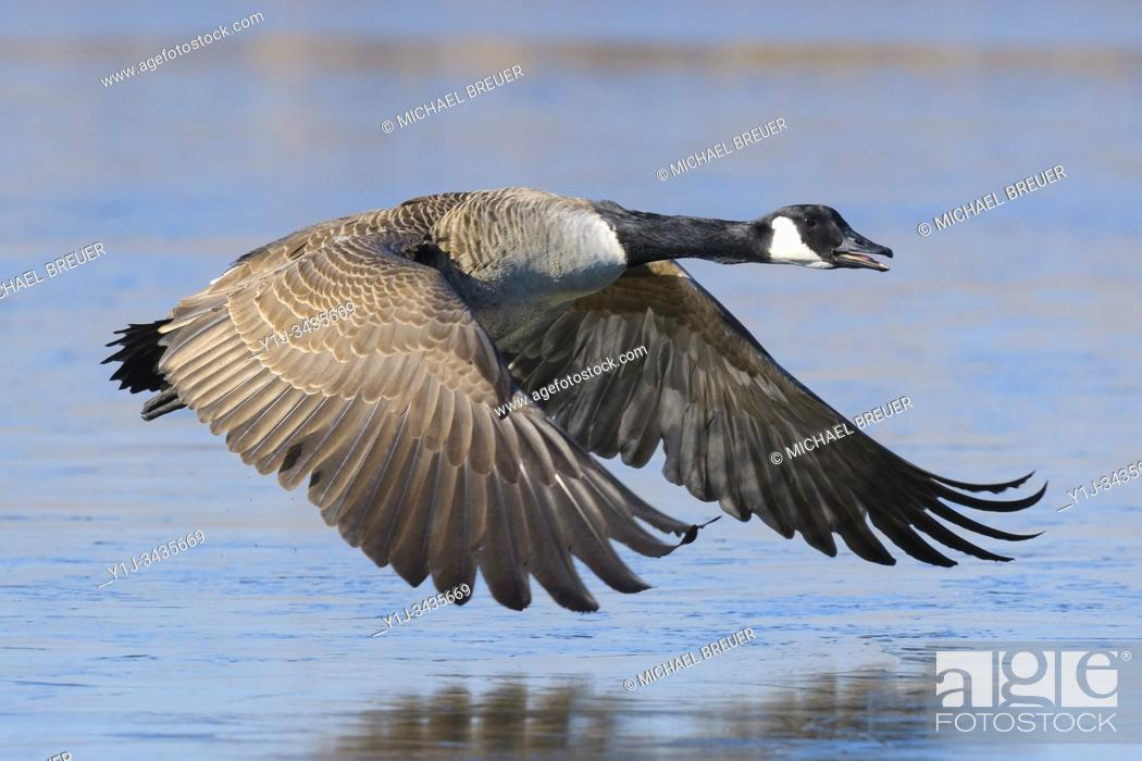 Stock Photo: Flying Canada Goose (Branta canadensis), Hesse, Germany, Europe.