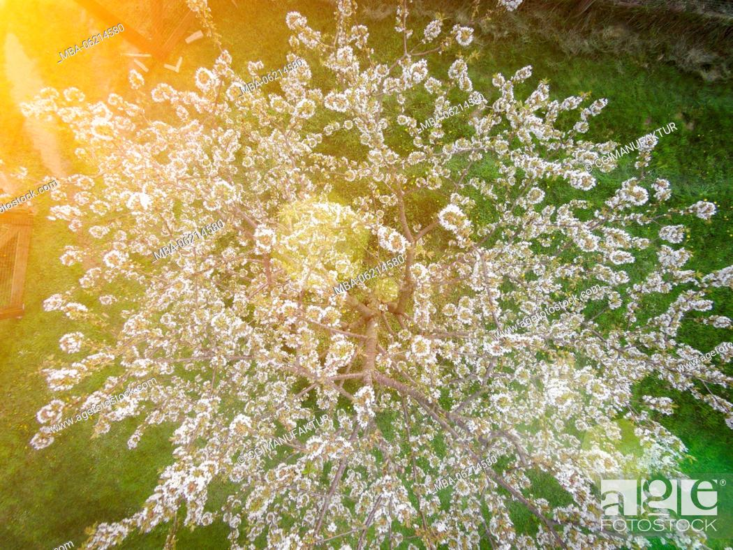 Stock Photo: Germany, Bavaria, Franconia, Cherry blossom, drones Photography.