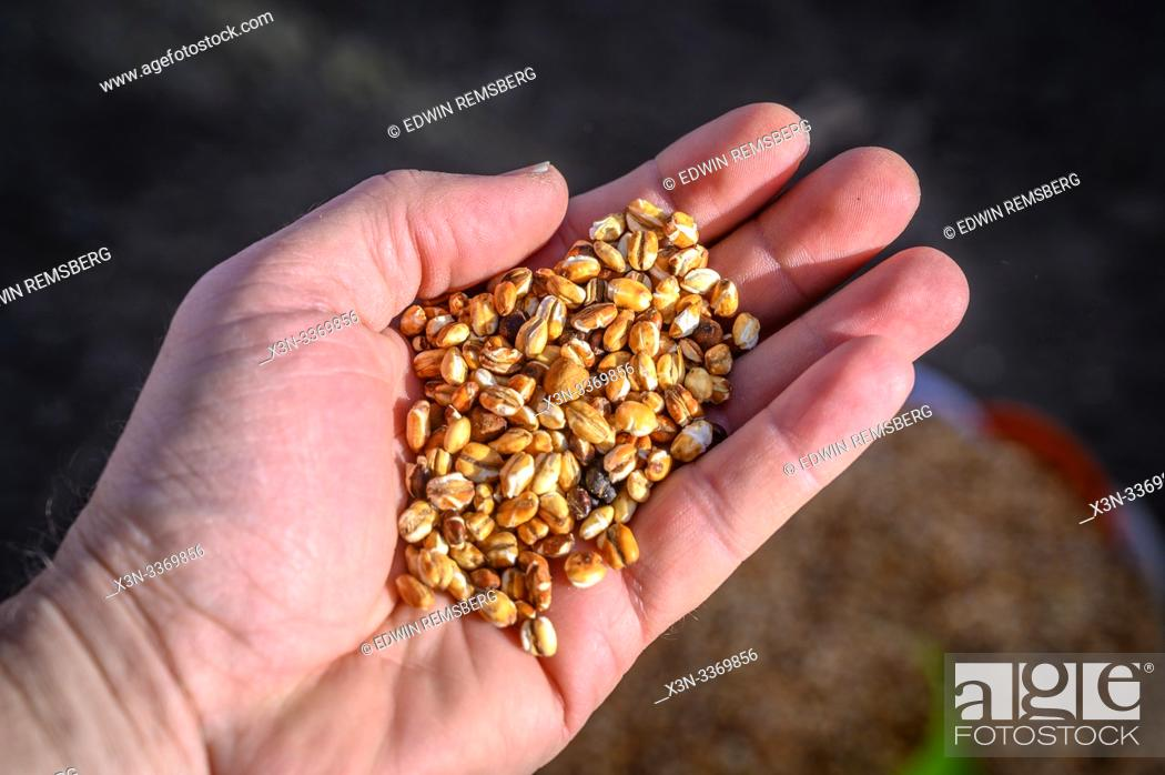 Stock Photo: Hand holding up Kolo or roasted barley, Debre Berhan, Ethiopia.