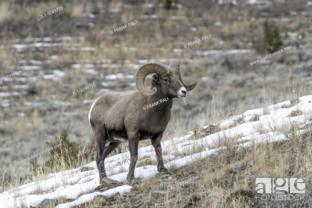 Stock Photo: An adult male Bighorn sheep 'Ovis canadensis', standing on top of a rocky ridge against a blue sky in lamar Valley Yellowstone National Park.