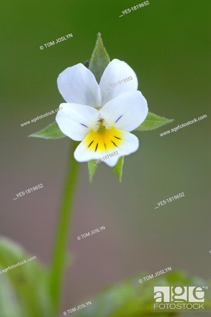 Stock Photo: Wild field pansy Viola arvensis flower , England , UK.