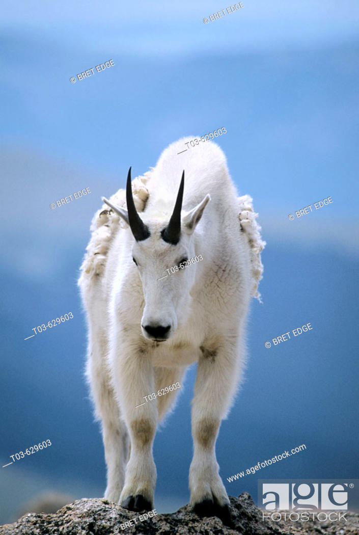 Stock Photo: A mountain goat poses atop a rocky outcrop at over 14,000' on Mt. Evan's summit in Colorado, USA.