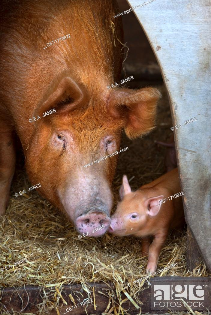 Photo de stock: Tamworth Sow and Piglets.