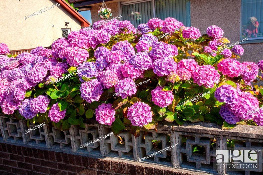 Stock Photo: Beautiful hydrangeas in the garden.