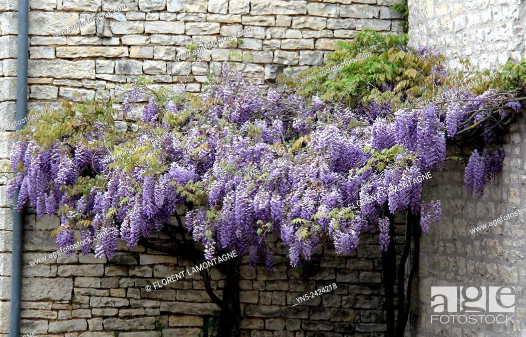 Stock Photo: Blue Glycine in spring, wisteria.