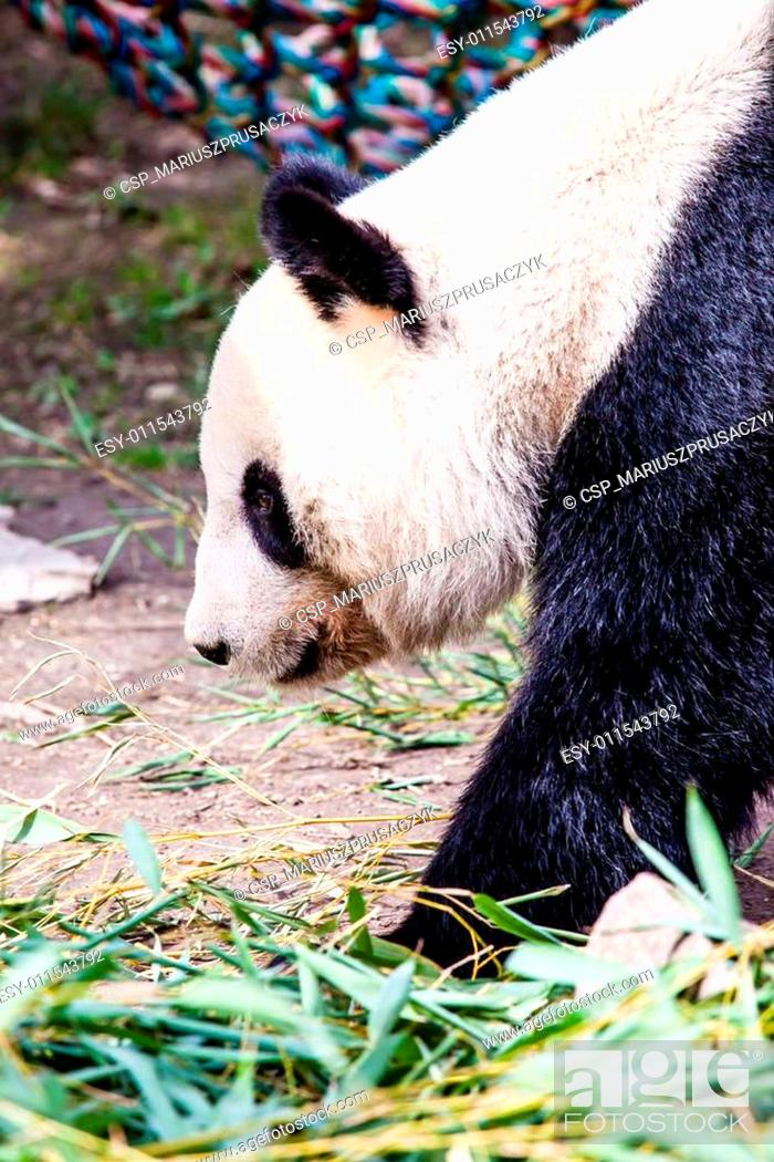 Stock Photo: Giand panda bear walking.
