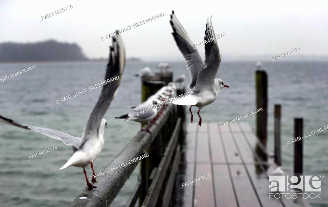 Stock Photo: Seagulls about to take off from a jetty in rainy weather near Prien at Chiemsee lake, Germany, 11 January 2016. Photo: KARL-JOSEF HILDENBRAND/dpa | usage.