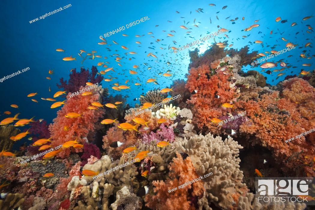 Photo de stock: Lyretail Anthias over Coral Reef, Pseudanthias squamipinnis, Red Sea, Ras Mohammed, Egypt.