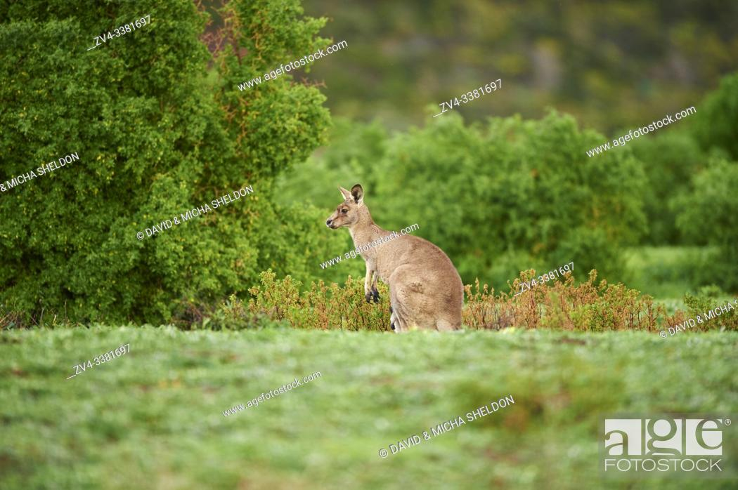 Stock Photo: Close-up of an eastern grey kangaroo (Macropus giganteus) wildlife on a meadow in Australia.