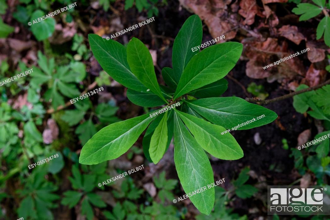 Stock Photo: Springtime February Daphne(Daphne mezereum) leaves from above, Bialowieza forest, Poland, Europe.