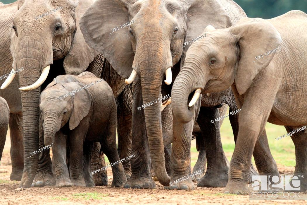 Stock Photo: Elephant Calves can easily slip between the adult legs to find a place for themselves  Adult elephants can consume upto 200 litres of water in dry weather  Mara.