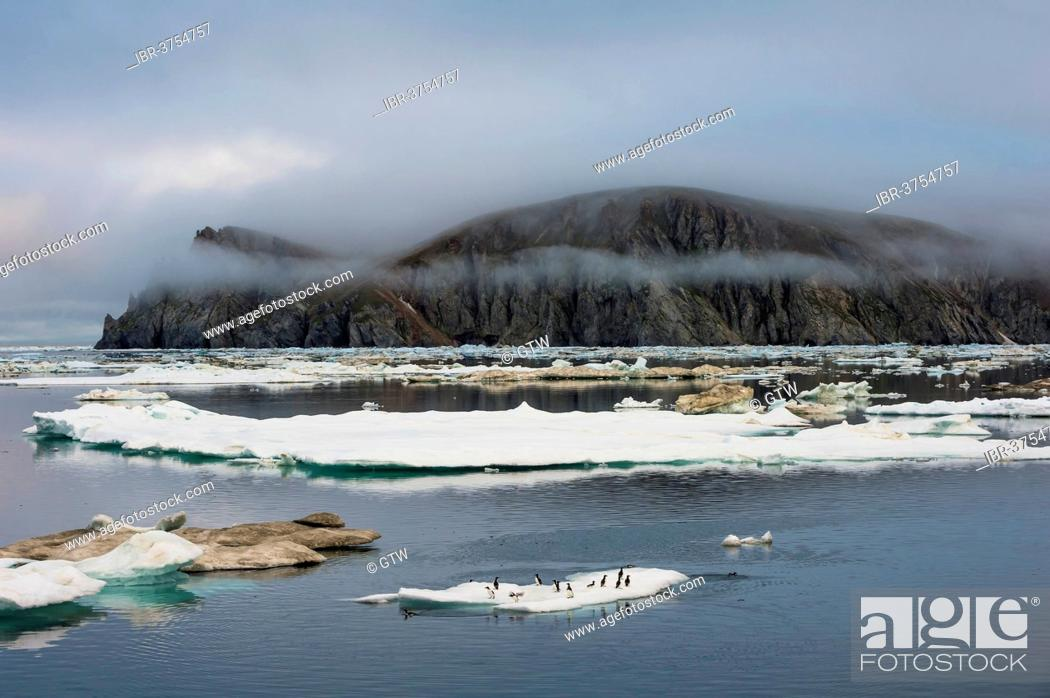 Stock Photo: Thick-billed Murres or Bruennich's Guillemots (Uria lomvia) on ice floes off Wrangel Island, UNESCO World Heritage Site, Wrangel Island.