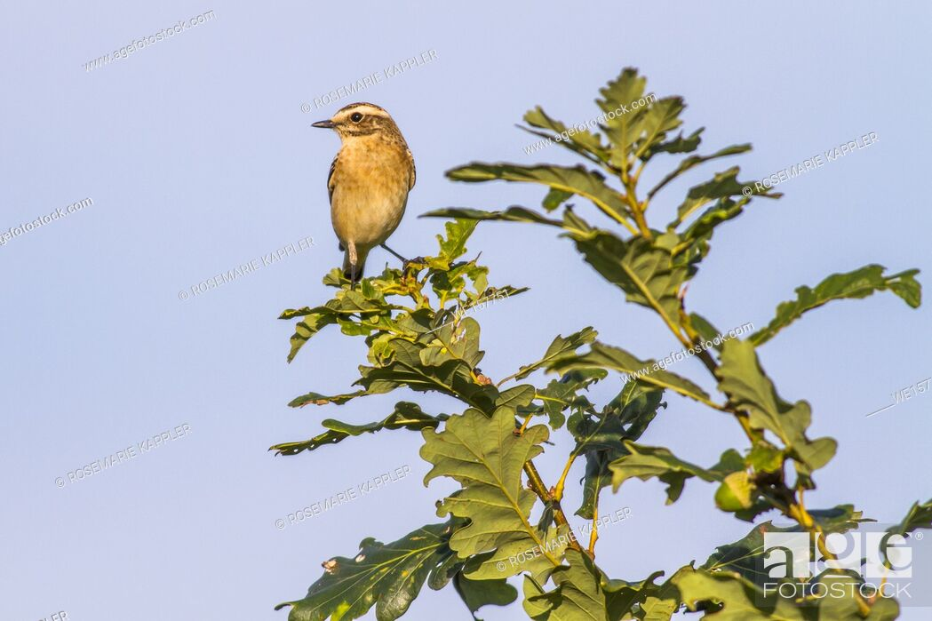 Stock Photo: Germany, Saarland, Bexbach - A whinchat is sitting on his vantage-point.