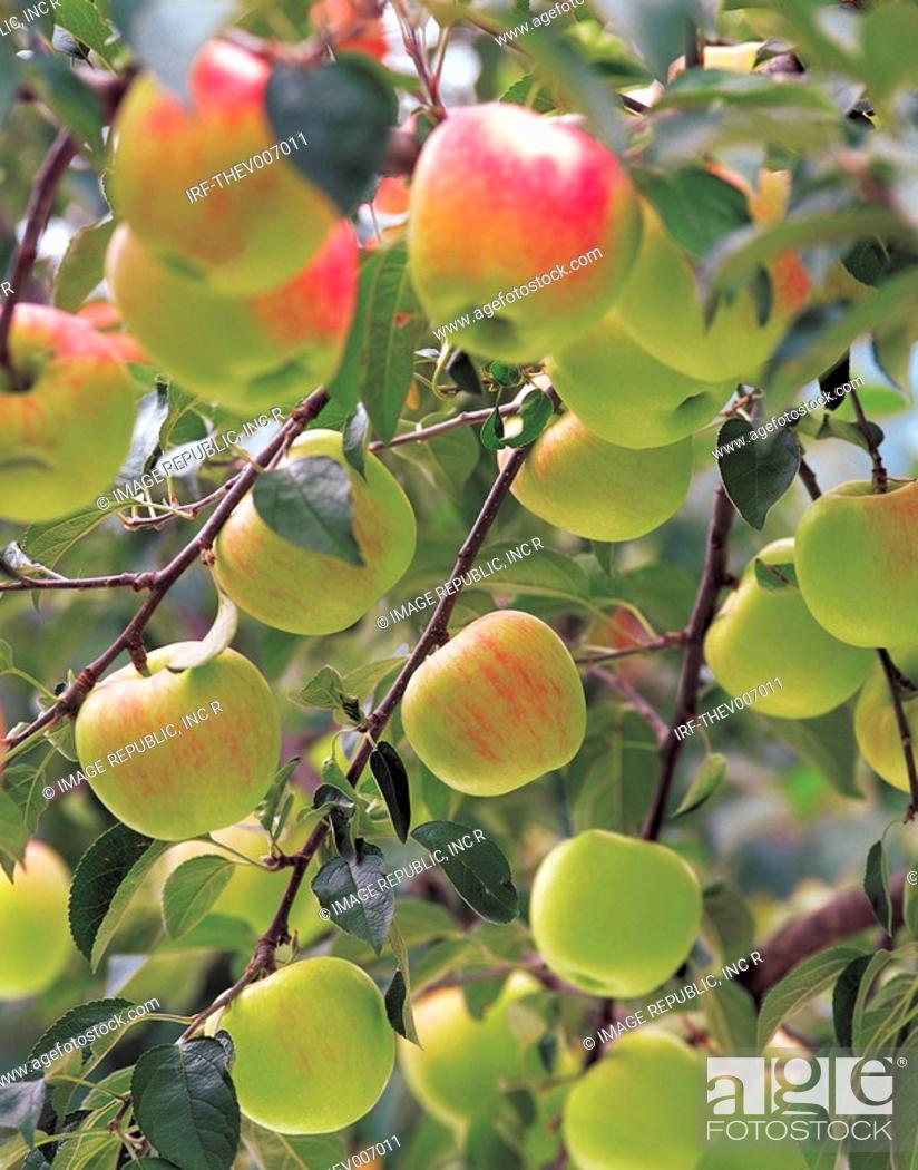 Stock Photo: apples hung on the boughs.