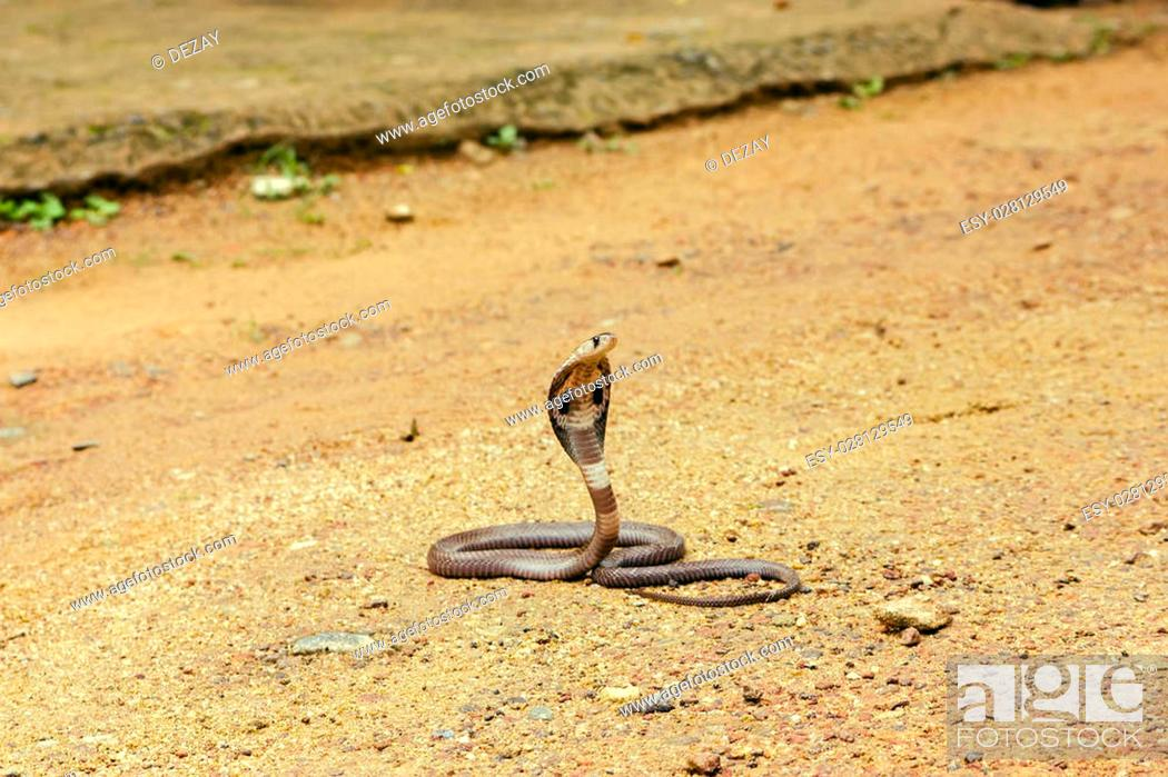 King Cobra Ophiophagus hannah  The world's longest venomous