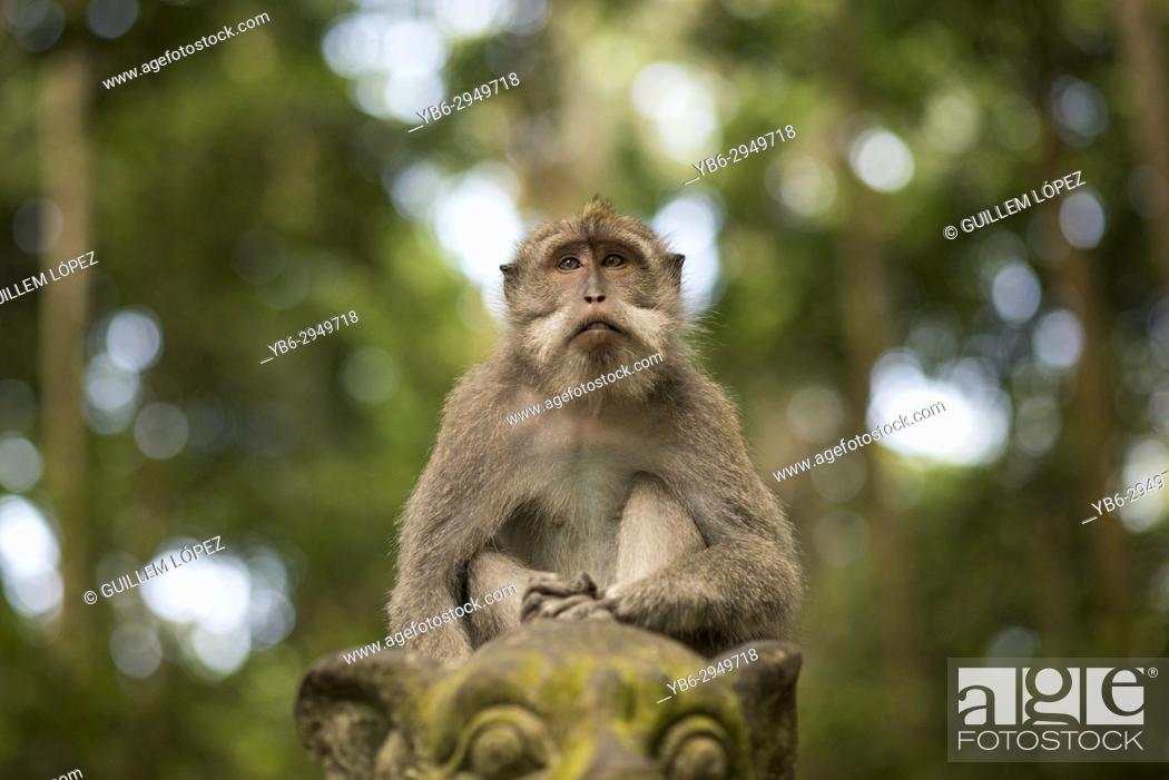 Stock Photo: Long-tailed macaque, Sangeh Monkey Forest, Ubud, Bali, Indonesia.